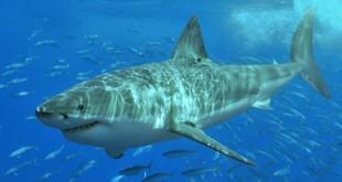 plonger avec des requins