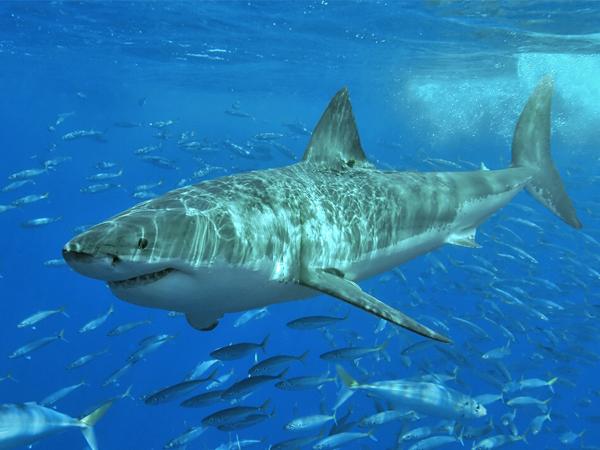 requin un mythe et une realite
