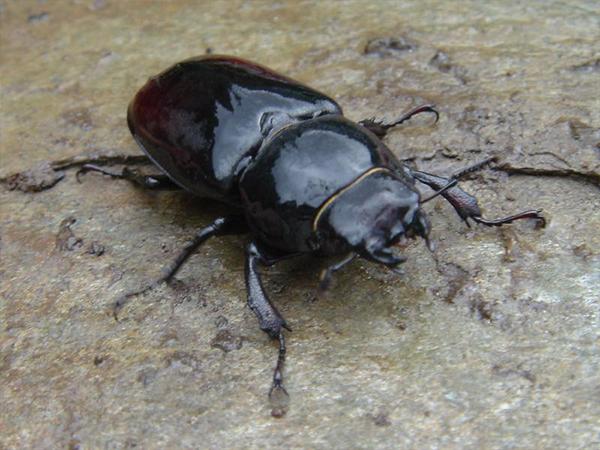 Scarabée Thailande insectes en Thaïlande