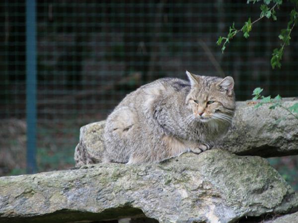 chat-sauvage-grotte-de-han grottes de Han