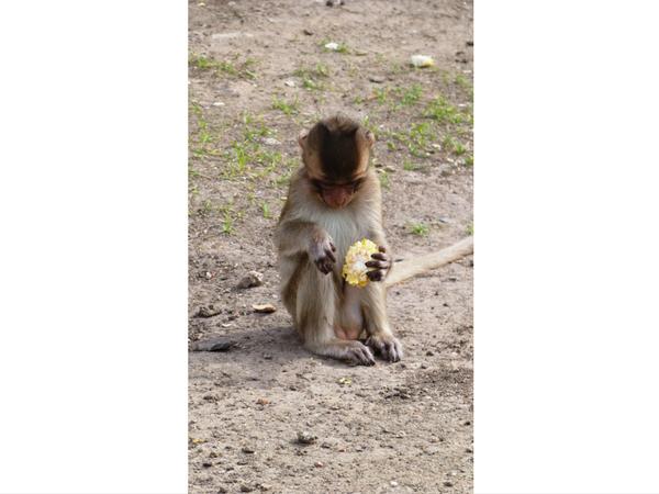 petit-singe-lopburi