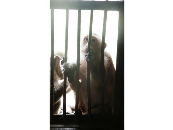 singe-en-cage-lopburi