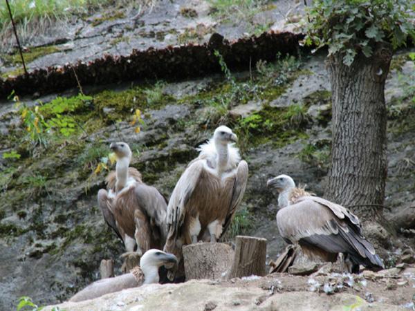 vautours-domaine-de-han