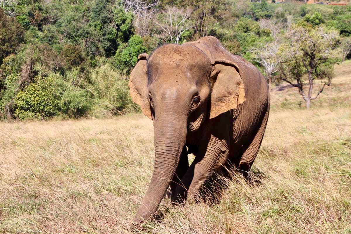 elephant de pres Sen Monorom Mondulkiri