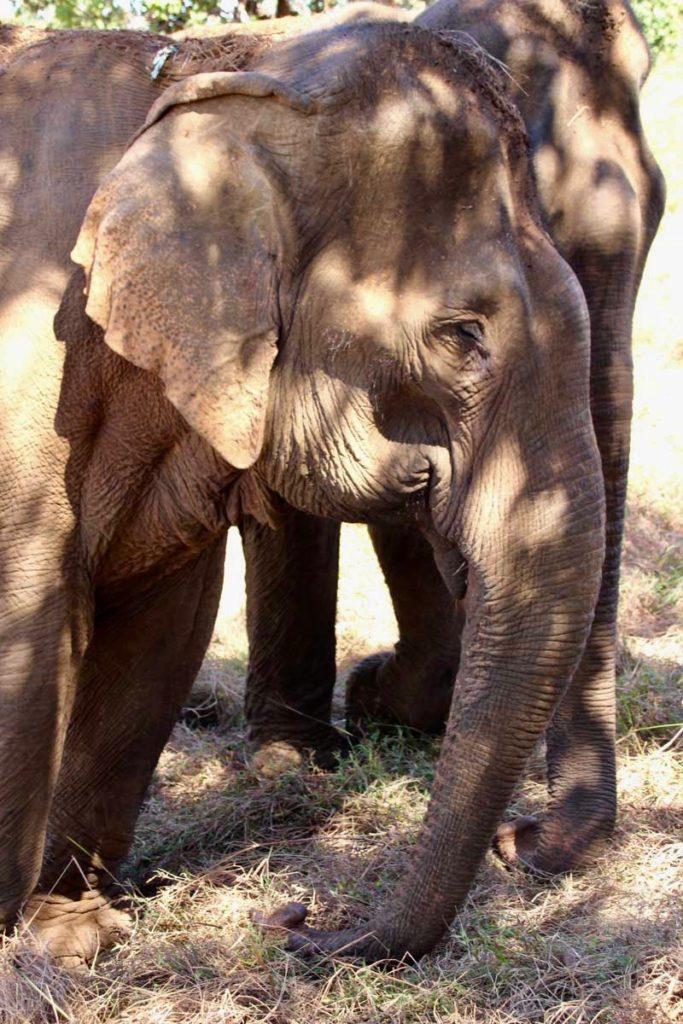 elephants mangent Sen Monorom Mondulkiri