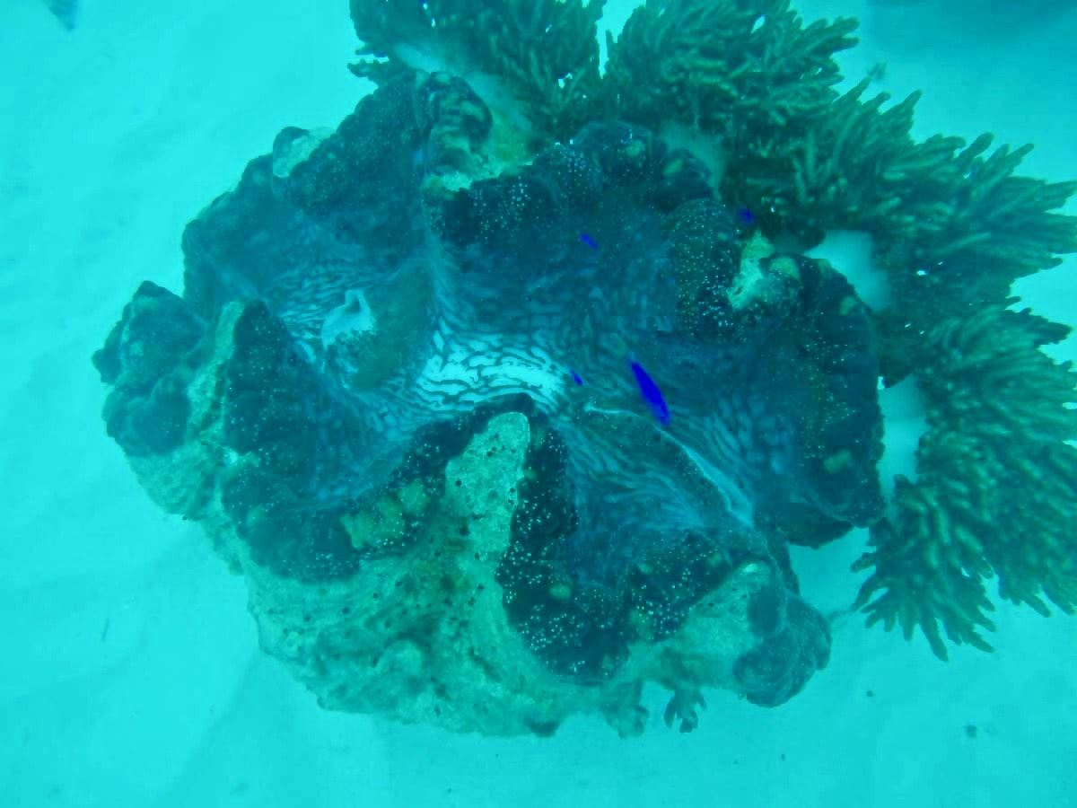 Coquillage plongee Cairns Grande Barriere de Corail