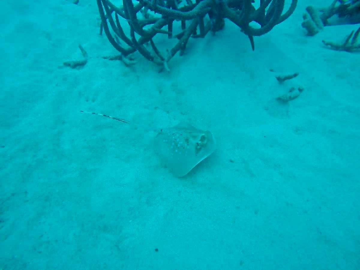 Raie plongee Cairns Grande Barriere de Corail