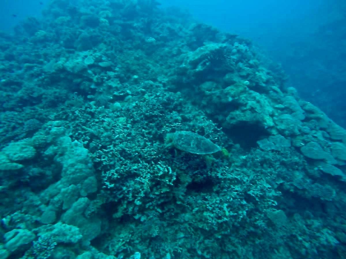 Tortue plongee Cairns Grande Barriere de Corail