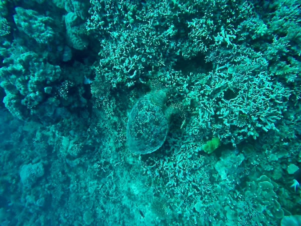 tortue récif plongee Cairns Grande Barriere de Corail