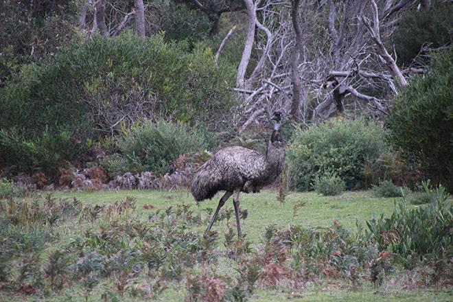 Emu Australie Wilsons Promontory