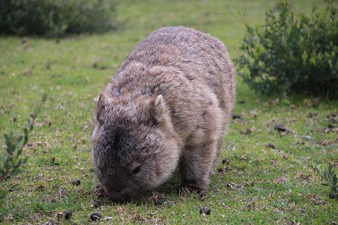 Rencontre avec un wombat Australie