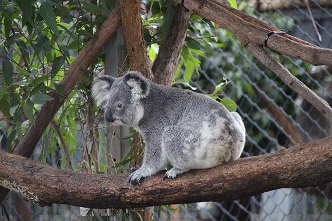Visite hopital Koala Port Macquarie Australie