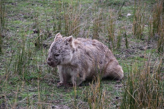Wilsons Promontory Wombat