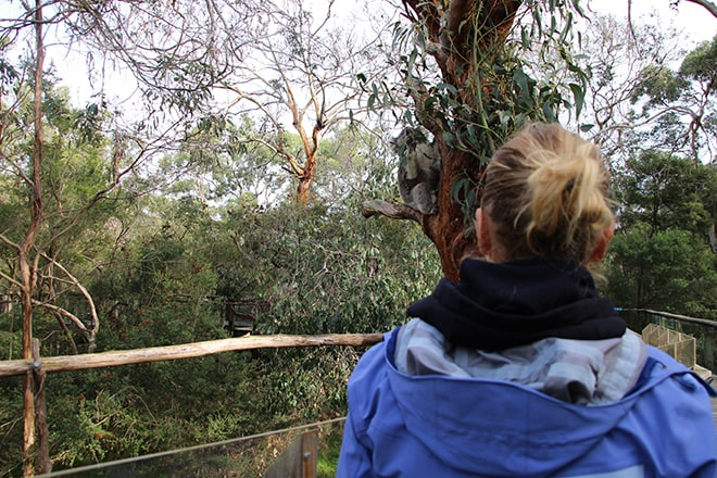 Elo Koala Phillip Island