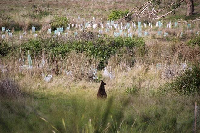 Kangourous Phillip Island