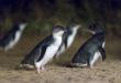 Découvrir Phillip Island et ses pingouins mythiques
