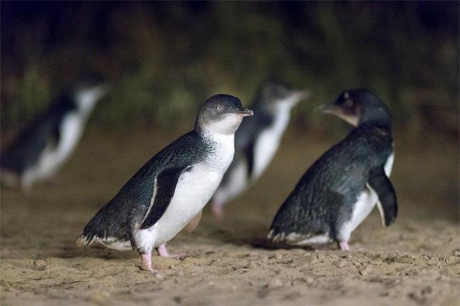 Phillip island - Penguin Parade Centre