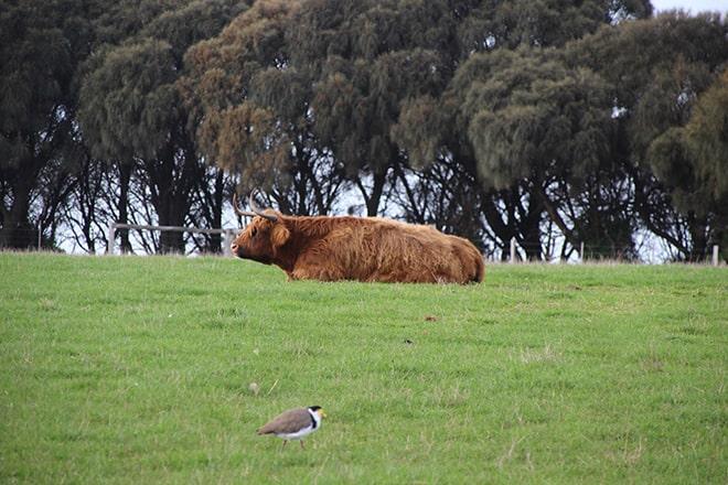 Vache Phillip Island