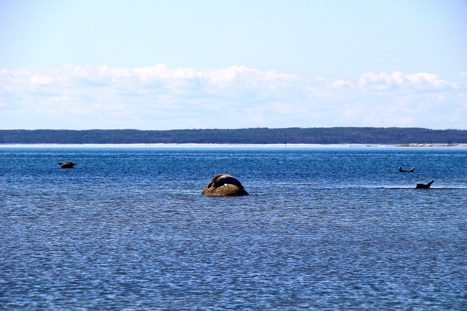 Phoques communes Parc du Bic Québec
